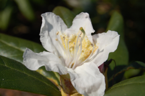 Rhododendron i blomst